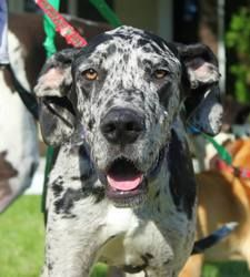 Lilith Is An Adoptable Great Dane Dog In Minneapolis Mn Lilith