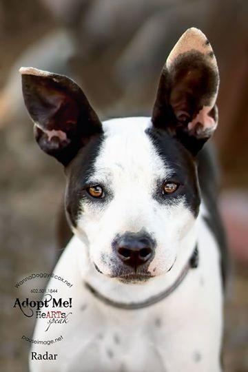 Adopt Radar On Ibizan Hound Cute Dogs Dogs