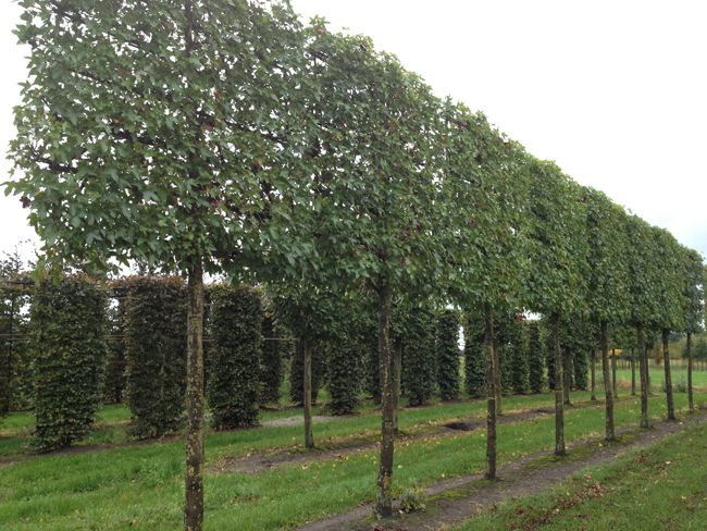 quercus ilex en espalier pleached tree le ch ne vert parfois appel l 39 yeuse principalement. Black Bedroom Furniture Sets. Home Design Ideas
