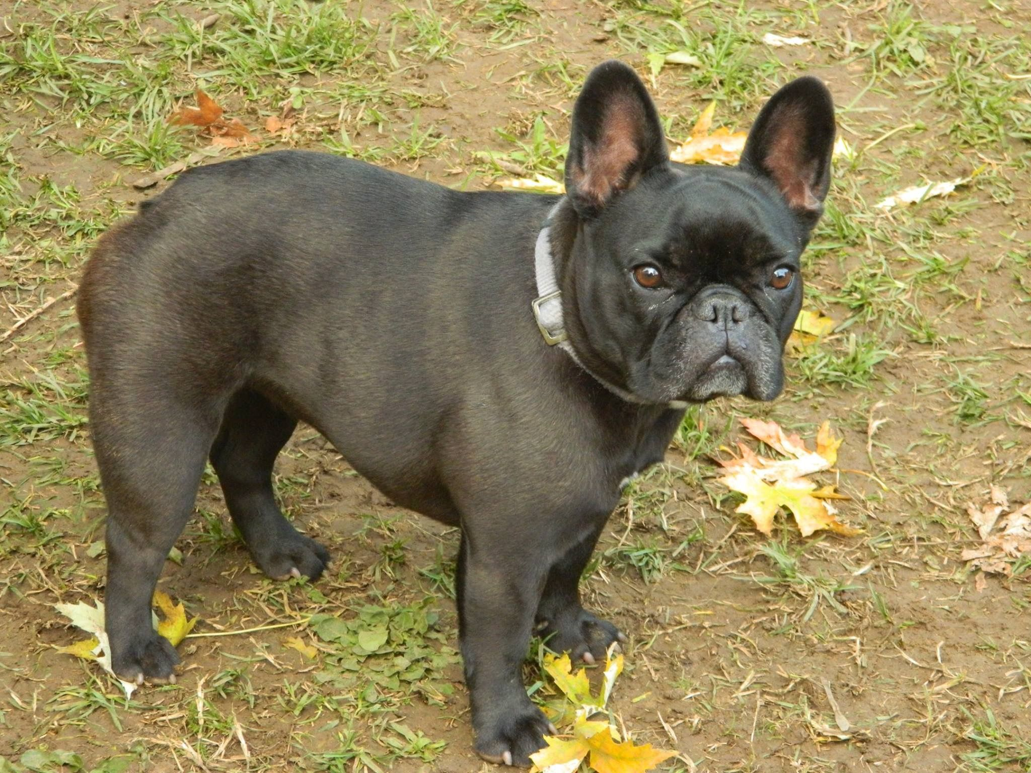 Pin by 🌻𝓛𝓸𝓿𝓮𝓵𝔂🌻 on Frenchies French bulldog, Bulldog