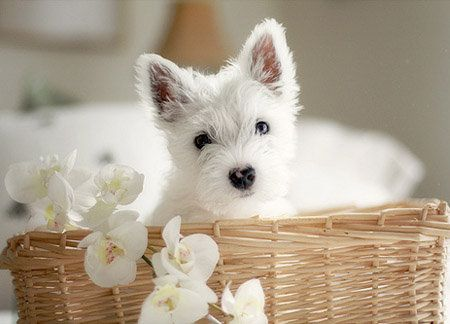 It Is A Westie Puppy Perro Westie Westy Perro Stuffed Animals