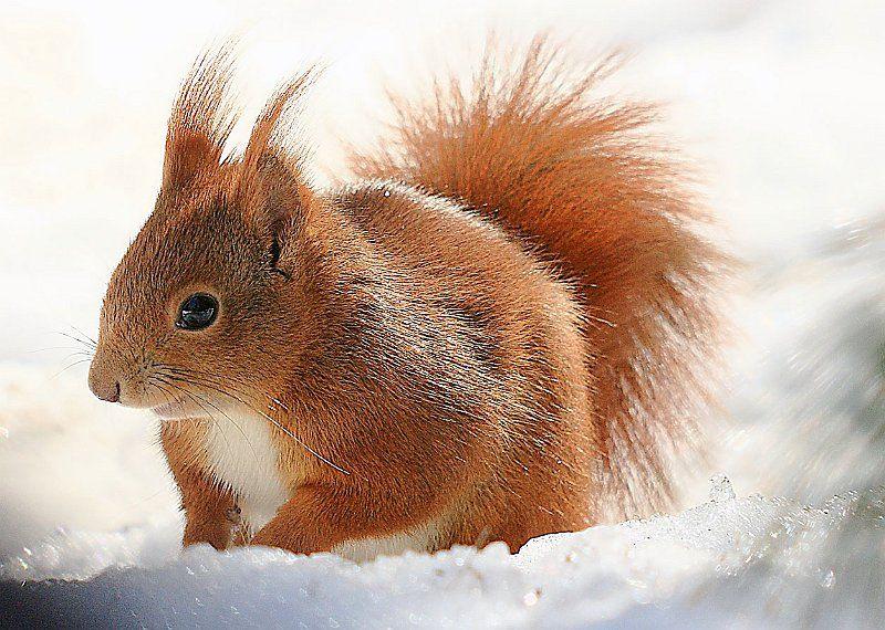 scoiattolo rosso