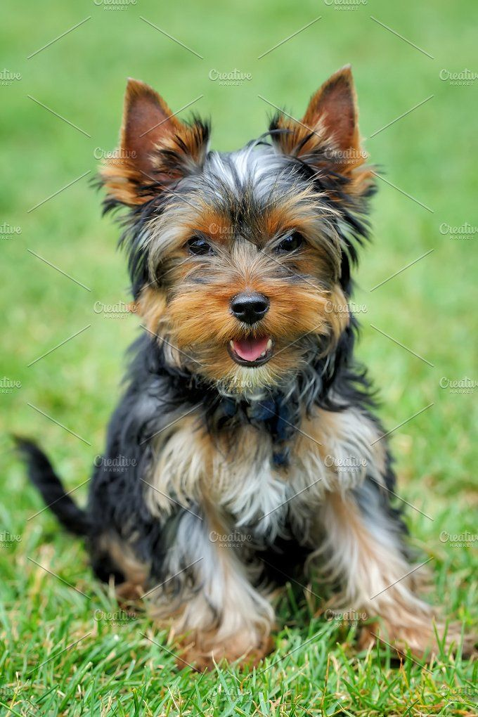 Dog Dogs, Dog health, Yorkshire terrier dog