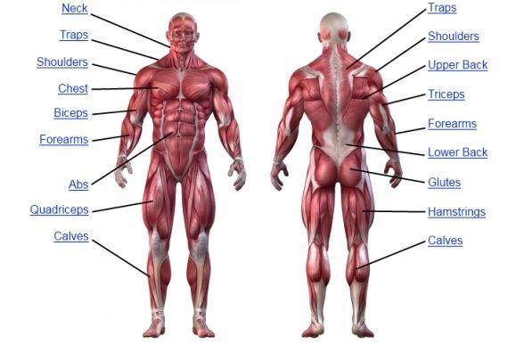 human muscle back muscle anatomy human anatomy chart   art, Muscles