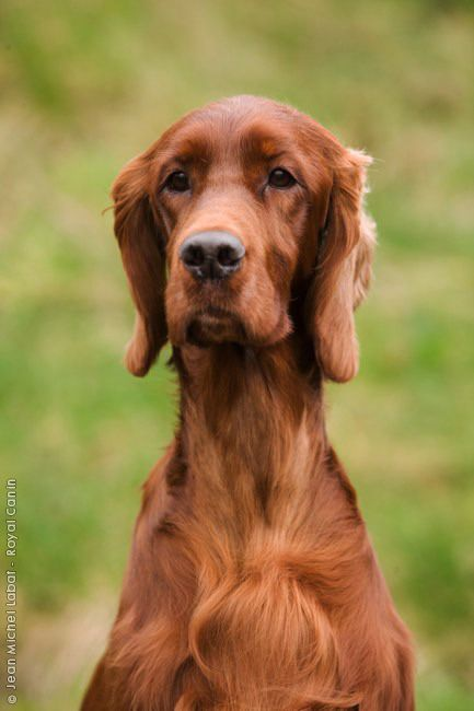 Irish Setter Hairs Cut Too Short Looks Funky Having Normal Ears