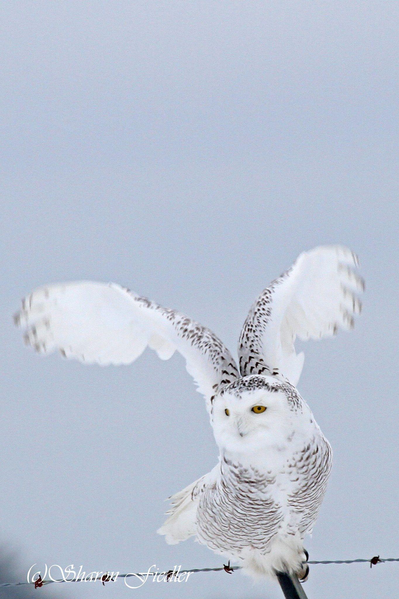 Snowy owl Snowy owl, Owl, Snowy