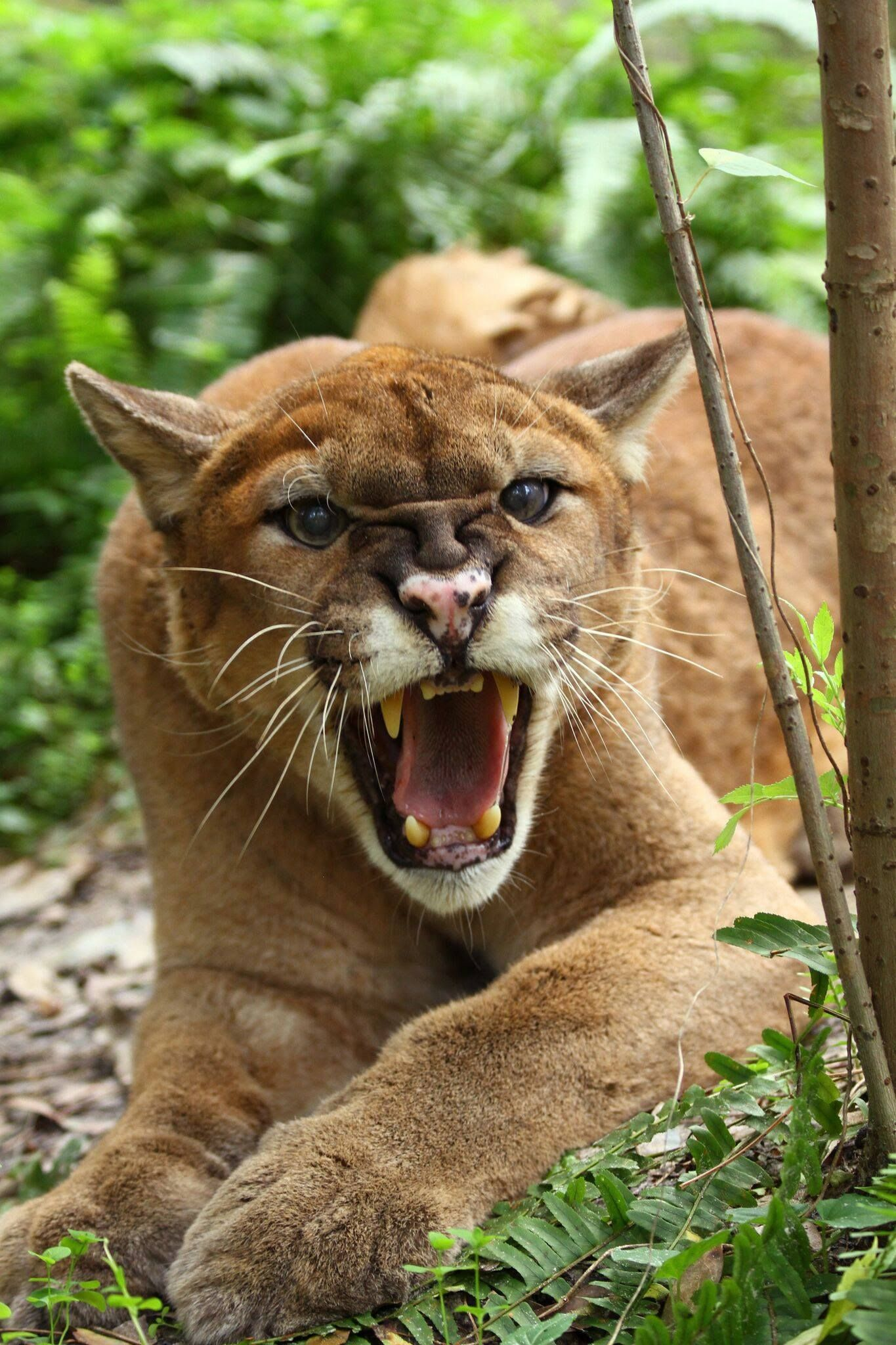 b675cf86d1963 World Of Wildcats  earth  world  nature  cats  wilderness  animals   wildcats  tiger  cheetah  leopard  big  lion  panther  pack  caracal  lynx   ocelot ...