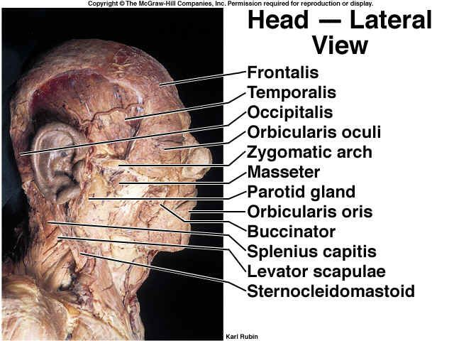 Image Result For Cadaver Of The Neck