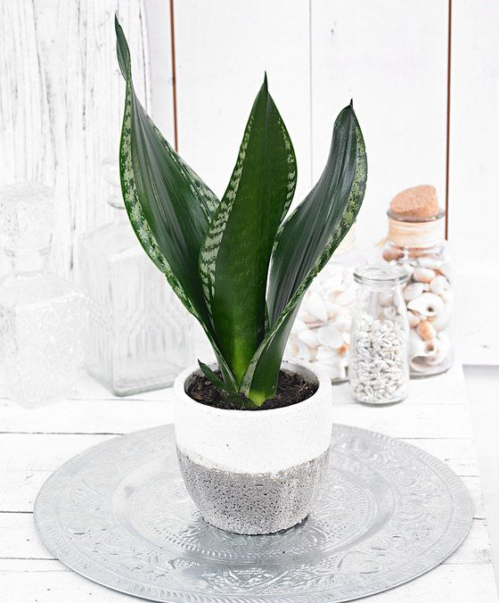 Sansevieria trifasciata 'Silver Flame' is part of Plants -