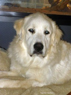 Dog Adoption Rescue Story My Giant Gentle Giant Dog Adoption