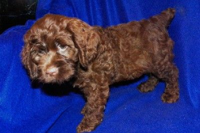 Clearance Puppy She Is So Adorable Attala County Cockapoo Puppies Dog Behavior Dog Thoughts