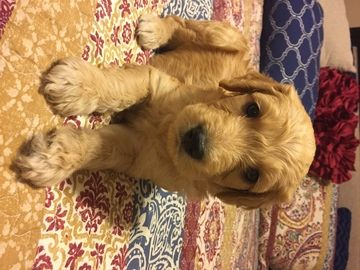 Litter of 8 Goldendoodle puppies for sale in ROCKWALL, TX