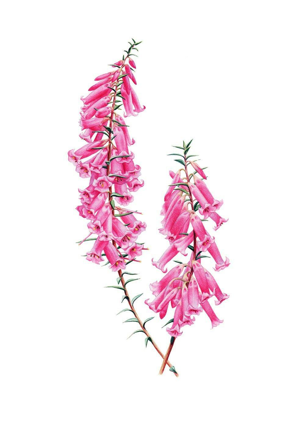 Common Heath Epacris Impressa Australian Native Flowers Australian Flowers Flower Printable