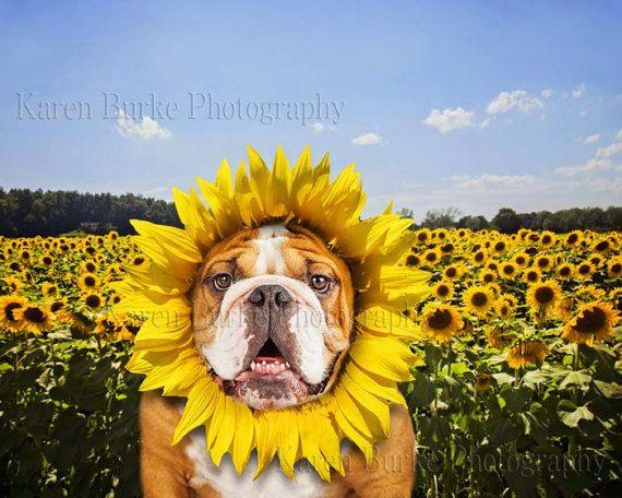 English Bulldog Sunflowers Sunflower Baby Funny Dog Print Funny Pets Animal Wall Art Whimsical P Photography Prints Art Animal Wall Art English Bulldog