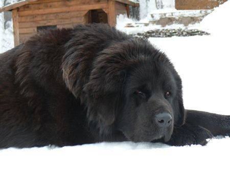 Must see Tibetan Mastiff Chubby Adorable Dog - ef8a79c25e59baafe46a2f2f05491ff7  Perfect Image Reference_584852  .jpg