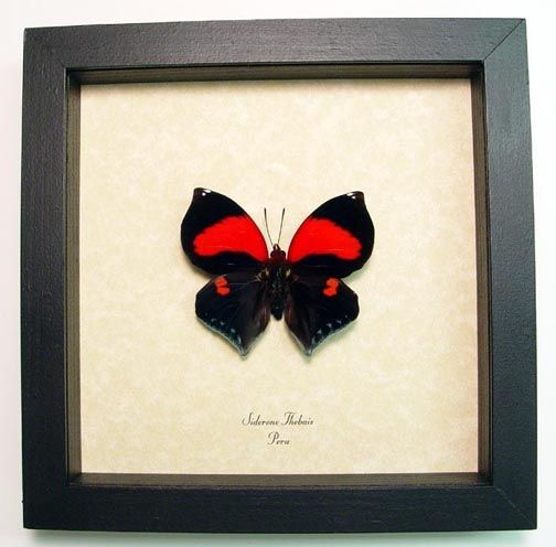 Siderone thebias The Red Heart I Love You Butterfly from Peru Beautiful Archival Conservation Display