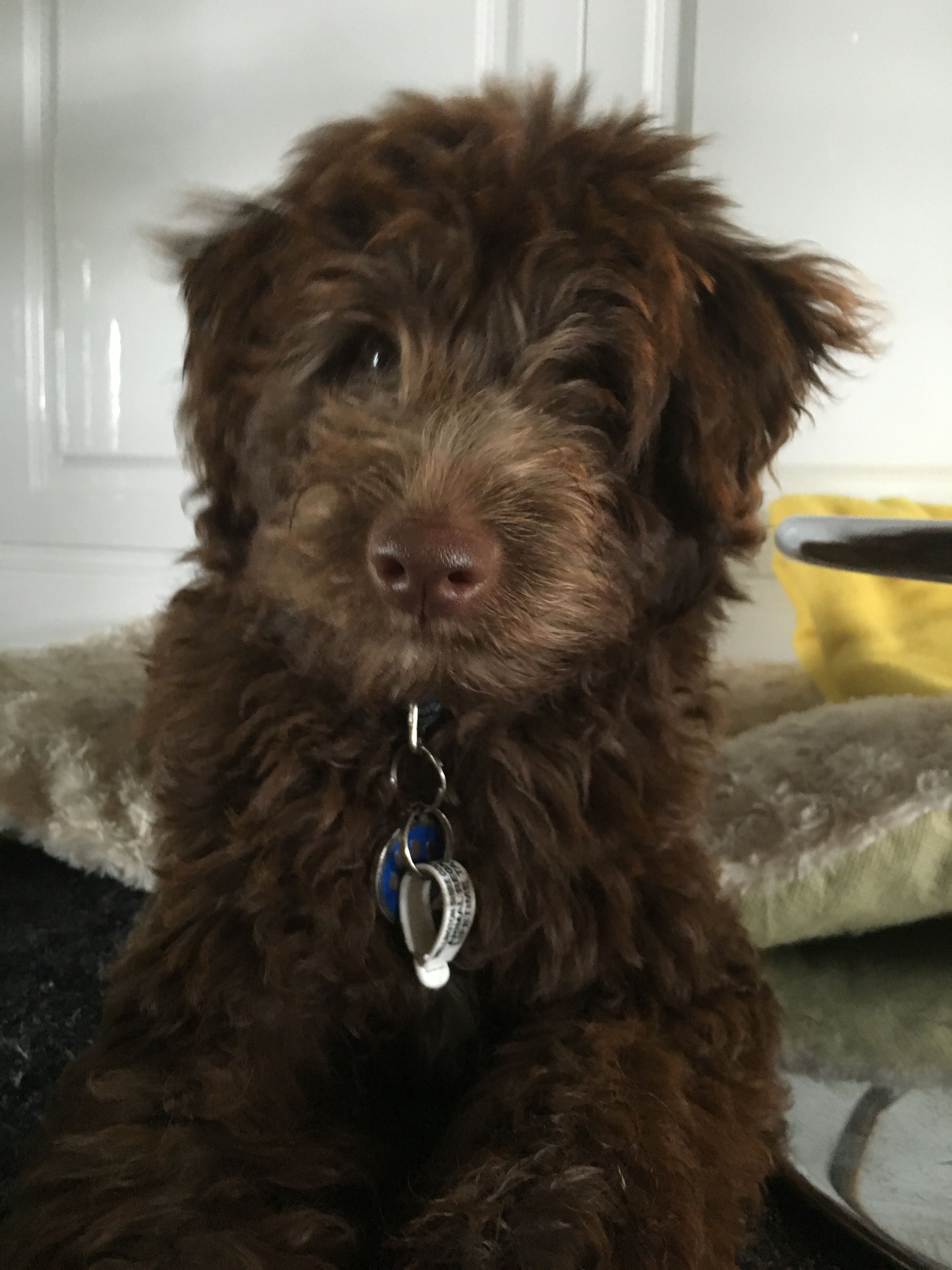 Harvey Bordoodle 4 Months Old Bordoodle Puppy Time Pet Dogs