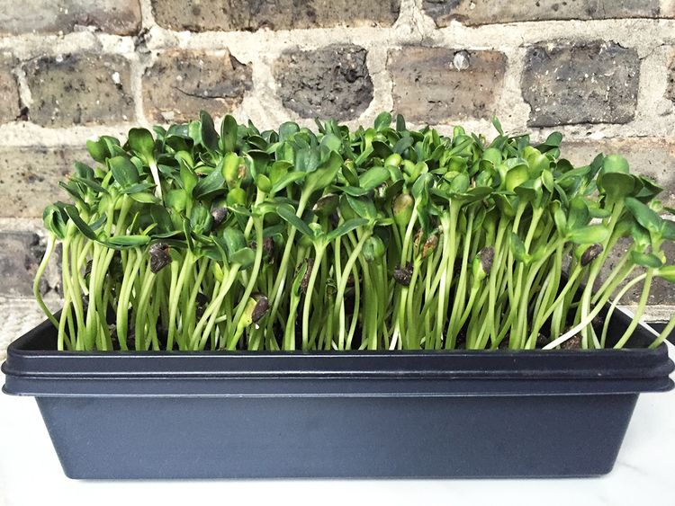 Nutrition and health benefits of sunflower sprouts
