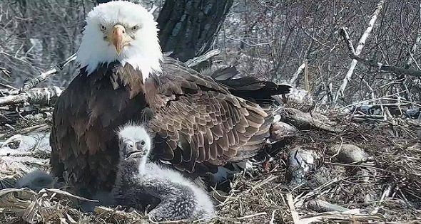 What happened to the Decorah dad eagle?   Decorah eagles ...