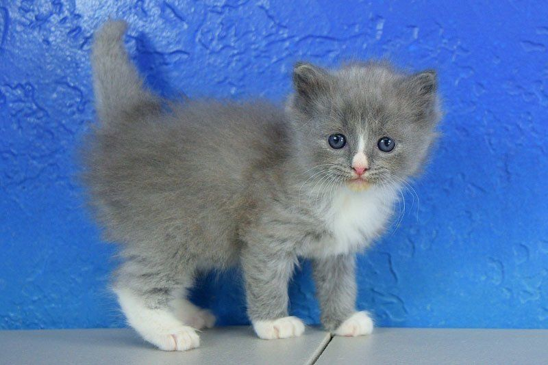 Furby Blue Mitted Solid With A Blaze Male Ragdoll Kitten Ragdoll Kitten Kittens Kittens Cutest