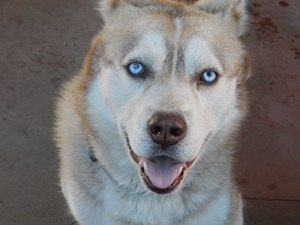 Breed Siberian Husky Age 2 Years Gender Male Coloring White