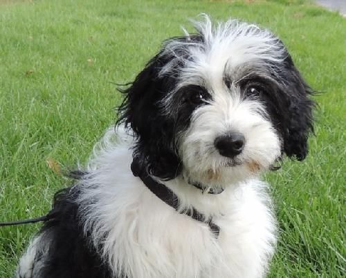 Finn Tibetan Terrier Mix Young Male Pet Rescue of