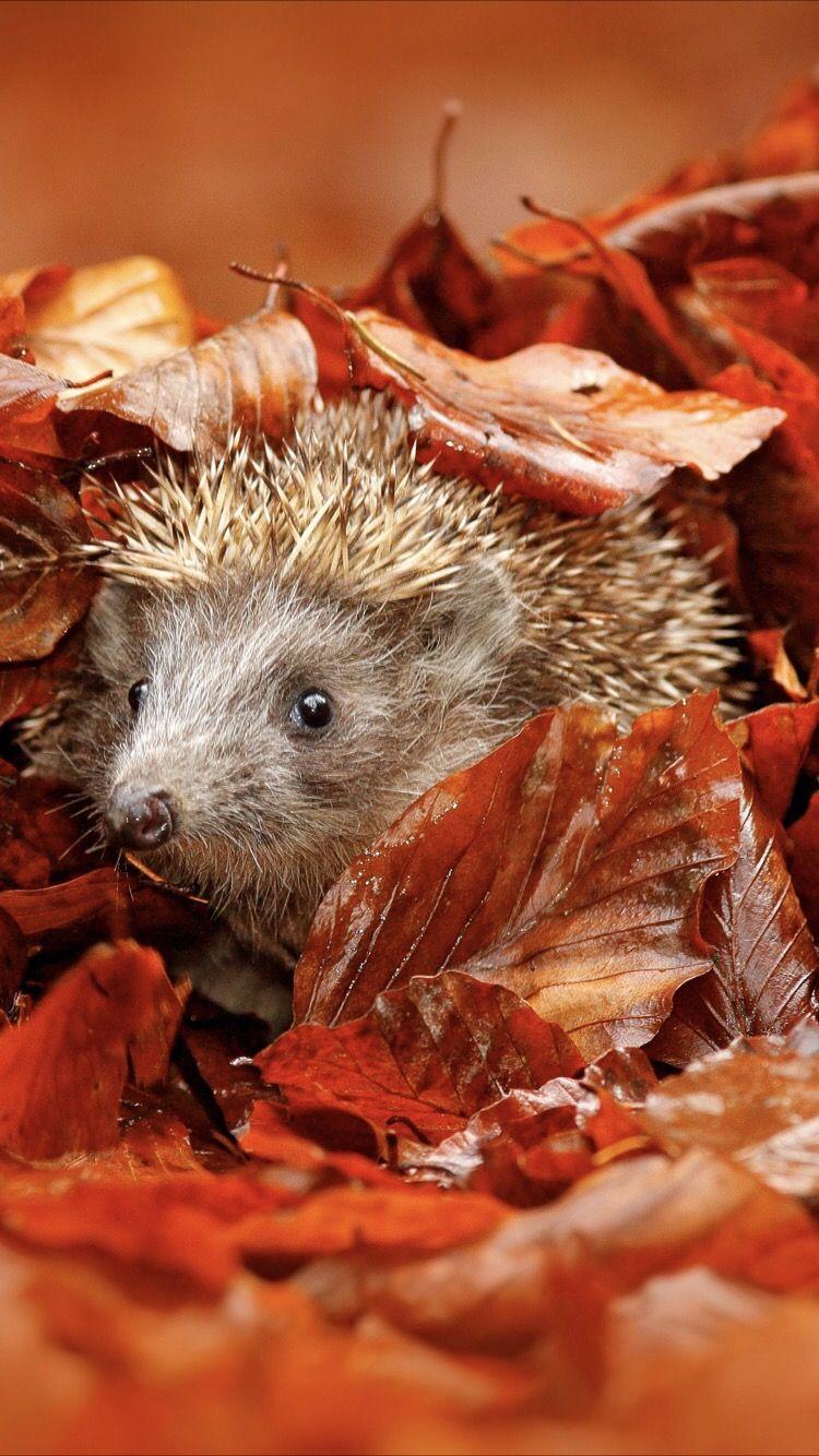 Cute Hedgehog Wallpaper Cute Hedgehog Cute Funny Animals Hedgehog