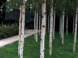 Silver birch bordering the front yard backyard for Silver birch trees for small gardens