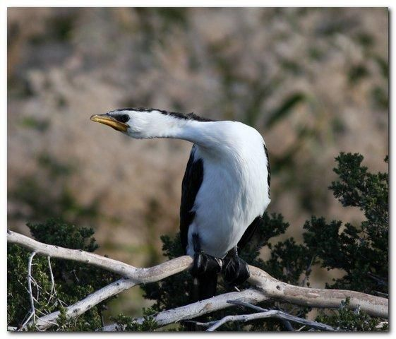 Little Pied Cormorant (Phalacrocorax melanoleucos) Adult neck stretching just before take off.