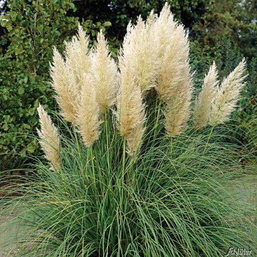 pampasgras | pampasgras | pinterest, Garten und bauen