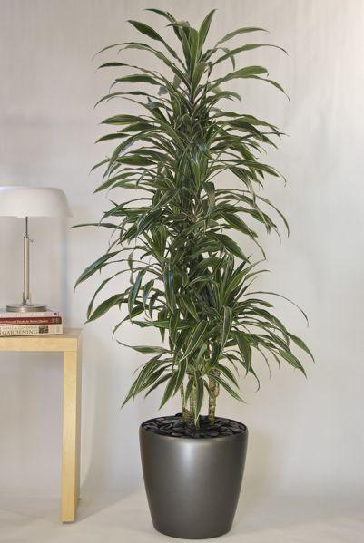 hawaiian warneckii cane from houston interior plants | living room