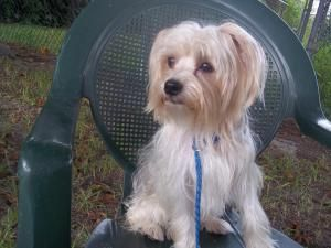 Adopt Holiday On Maltese Dogs Terrier Mix Dogs Lady Lake