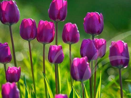 Hasil Gambar Untuk Bunga Tulip Bunga Ungu Bunga Tulip Bunga