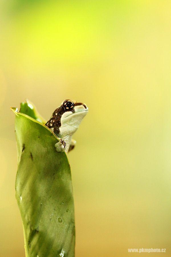 Amazon milk frog by Peter Krejzl on 500px