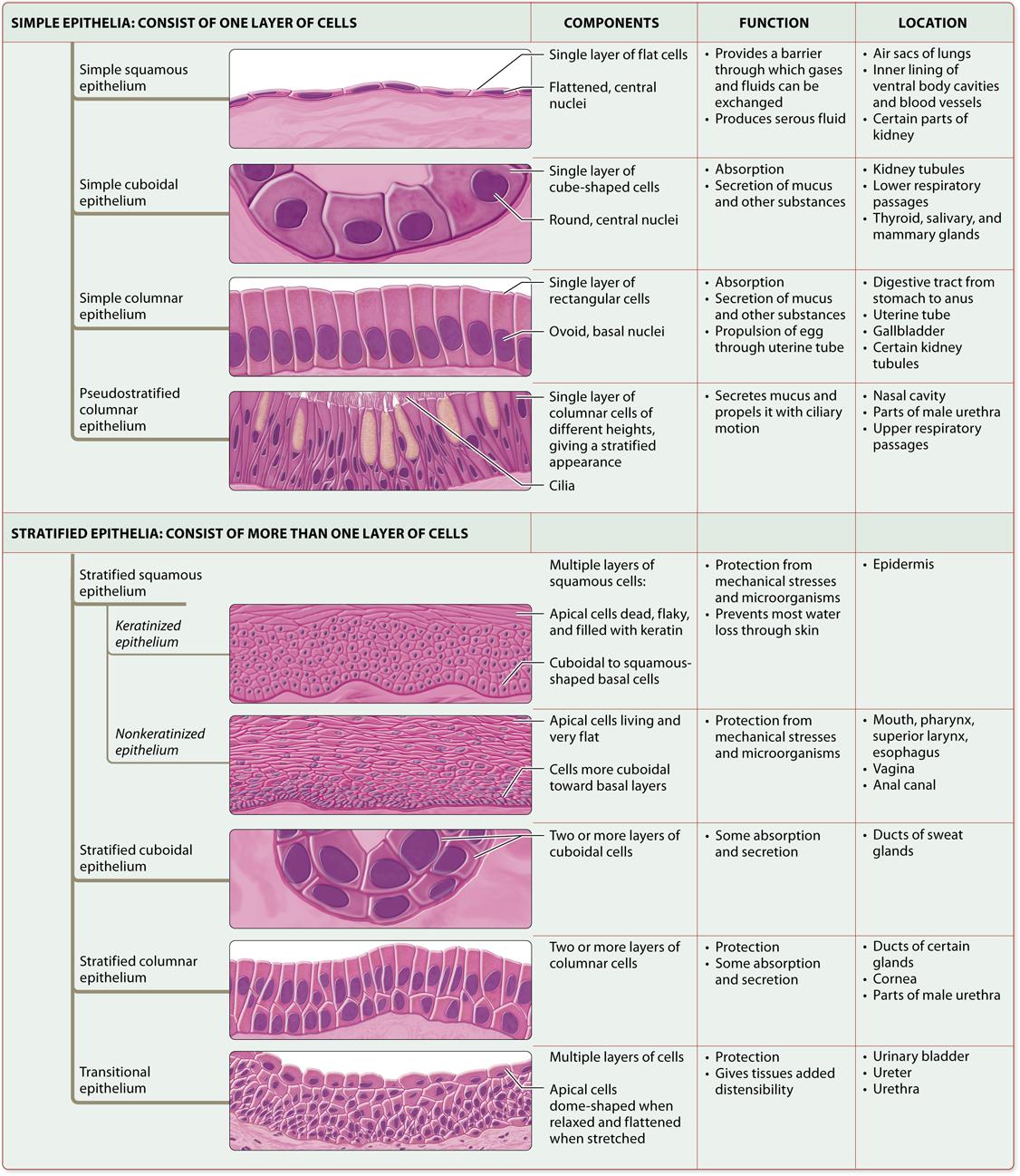 Module 4 2 Epithelial Tissues