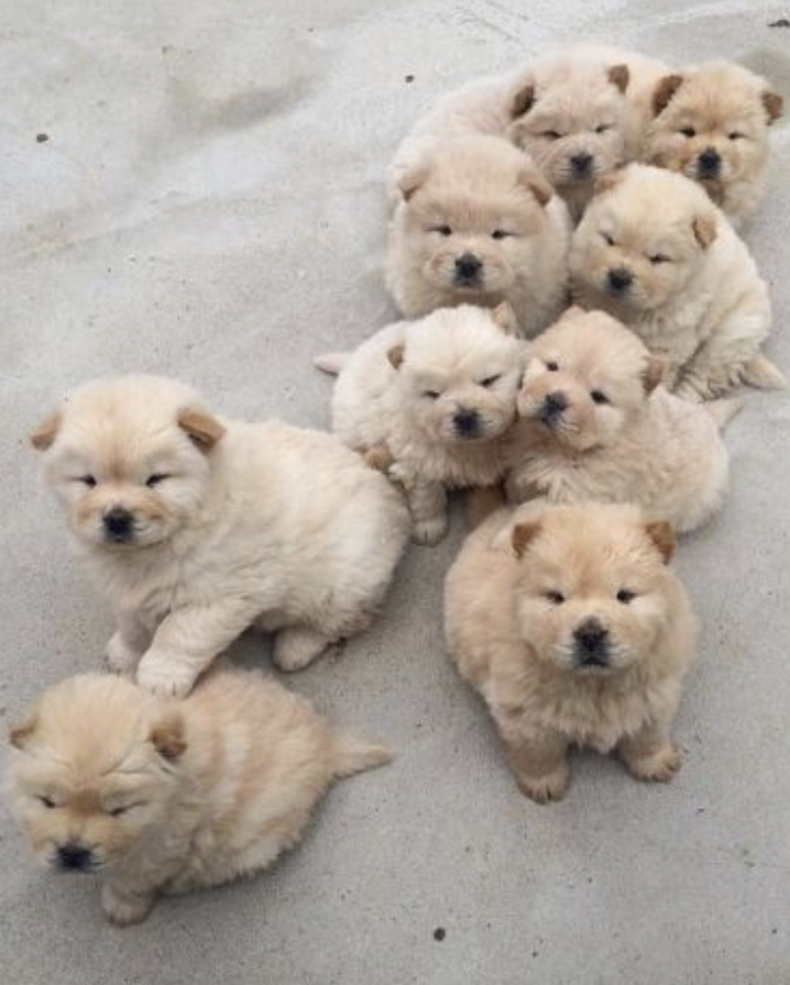 Pinterest Kyliieee Cute Small Fluffy Puppies Toy Dog Breeds Litter Of Puppies Small Dogs In 2020 Toy Dog Breeds Small Fluffy Puppies Fluffy Puppies