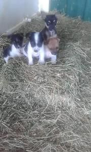 Chihuahua In Townsville Region Qld Dogs Puppies Gumtree