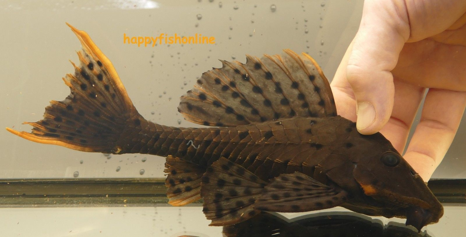 L095 Orange Cheek Pinecone Pleco Plecostomus Species Tropical Fish