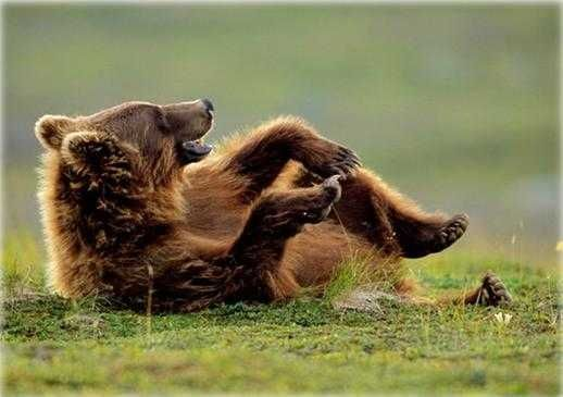 Image result for laughing bear