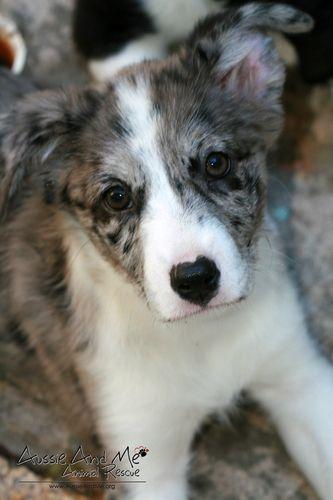 Adopt Brandy On Australian Shepherd Dogs Adoption