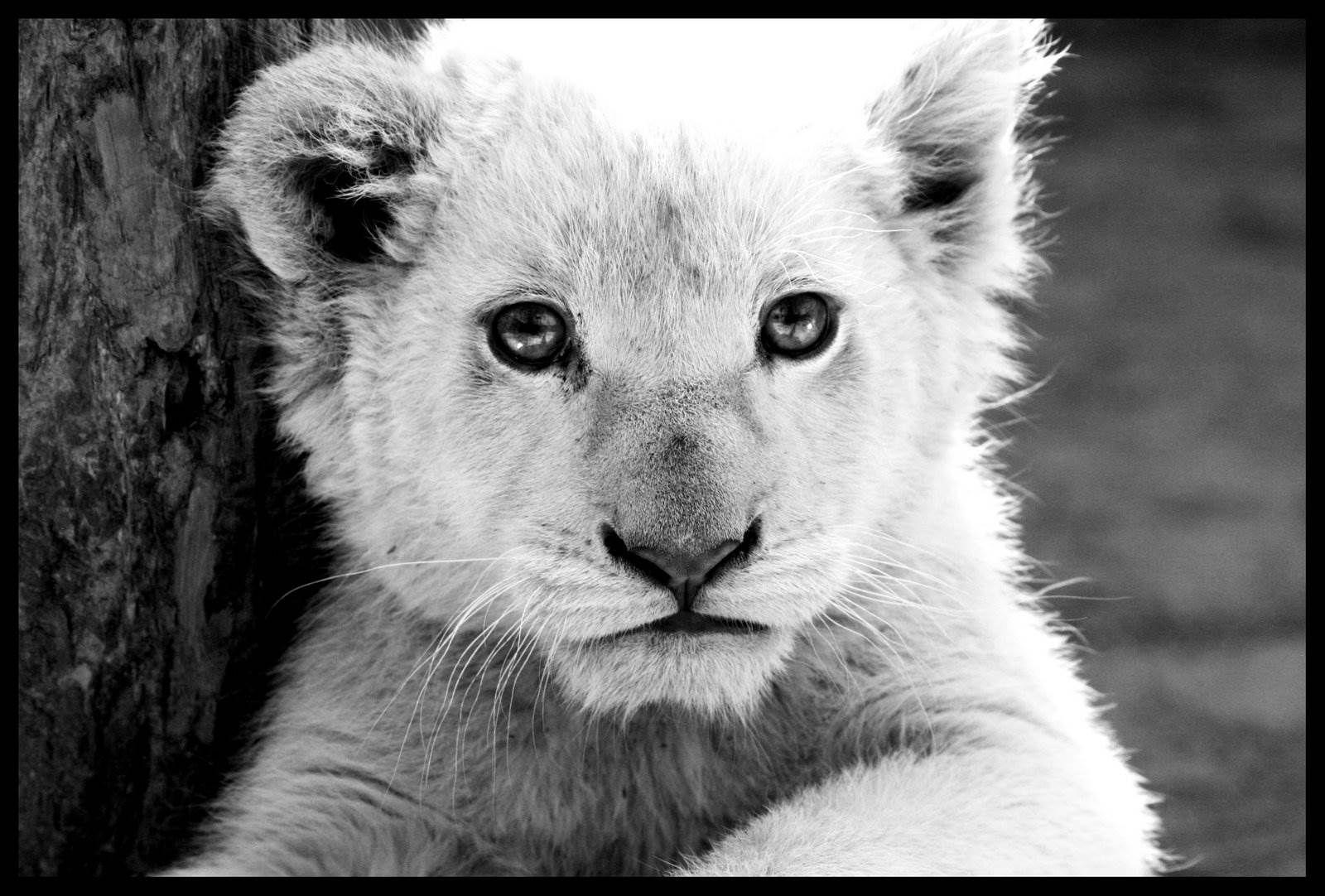 White Lion Roar Wallpaper 1400x1050 Images