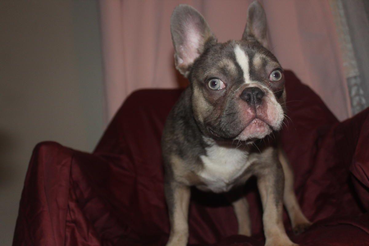 French Bulldog Litter Bulldog French Bulldog For Sale