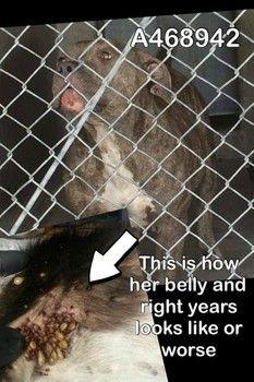 Safe <3<3<3Infested with ticks young dog cries out for help at Calif. high kill shelter