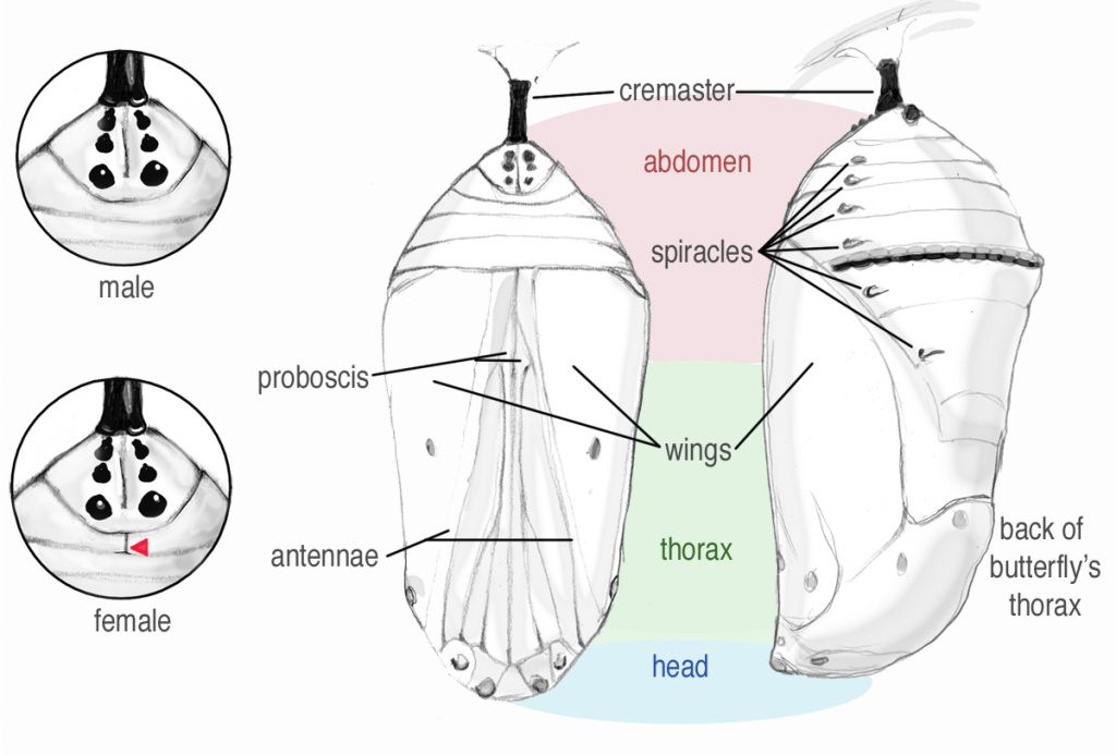 about monarchs butterfly life cycle monarch butterfly, monarch Moth Diagram