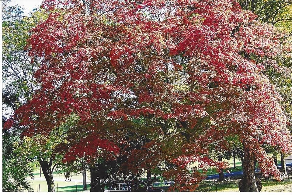 Beautiful red tree in the fall with images autumn