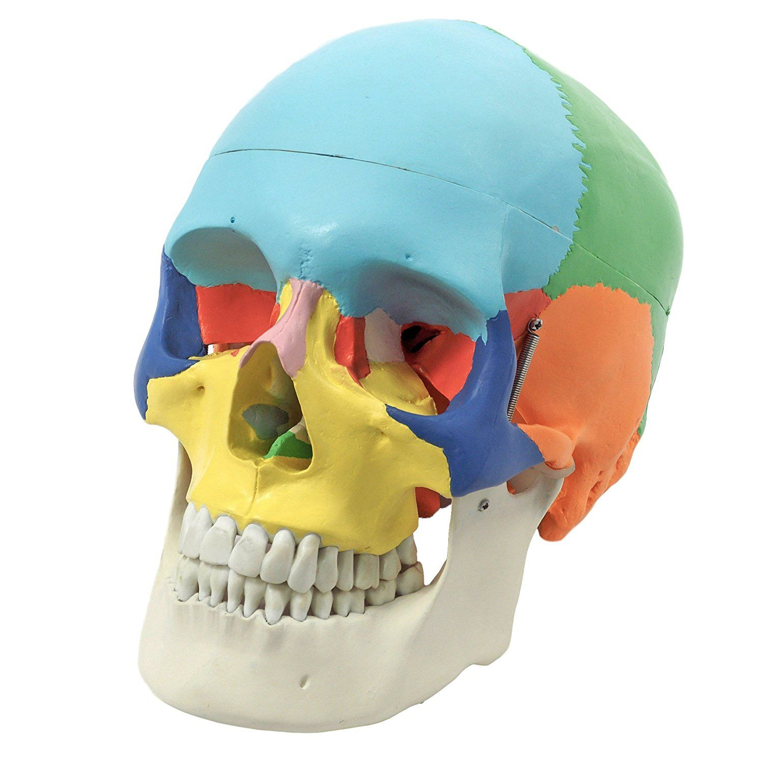 Anatomical Skull Model, Didactic Color Painted, 3Part
