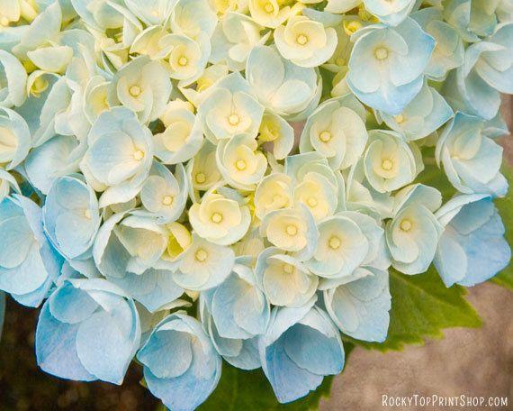 Blue Hydrangea Flower Art Print  - Flower Photo - Floral Photography Print - Flower Wall Art - Flower Home Decor