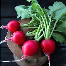 130 Round Red Radish Seeds Low Maintenance Drought 400 x 300
