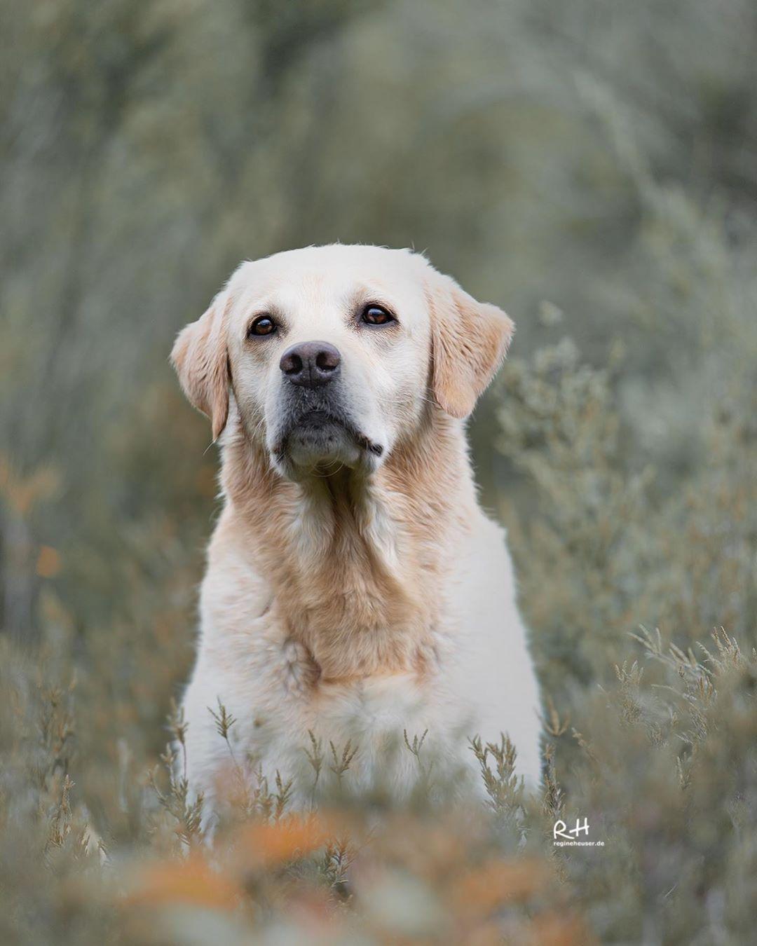 Topmodel Chuck Follow Regine Heuser Labradorretriever Labradors Fotoworkshop Dogs Hunde Hundelie Golden Retriever Labrador Retriever Retriever
