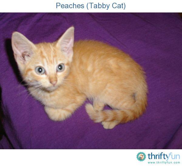 Peaches Tabby Cat Tabby Cat Tabby Kitten Tabby